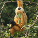 Female-Cao-Vit-Gibbon-with-baby