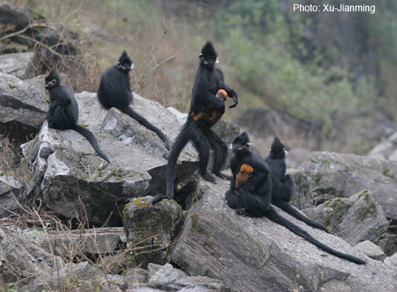 Help save the endangered Francois' langur