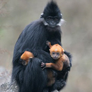 Female-Francois-Langur-with-baby