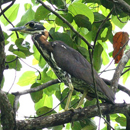 White-eared-Night-Heron