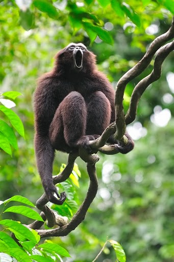 Mueller Gibbon Photo Source: Stock Images