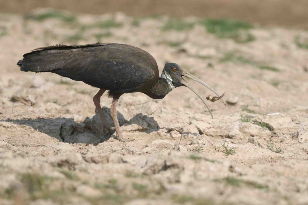 White-shouldered Ibis Photo: JC Eames