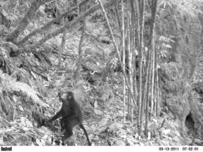 Burmese Snub-nosed Monkey Camera Trap