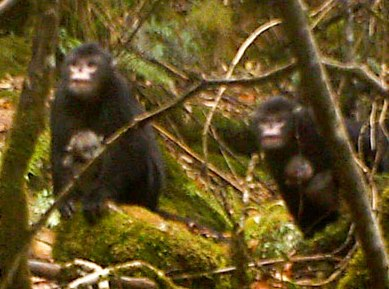 Myanmar Snub-nosed Monkey Photo: BANCA/FFI/PRCF (2011)