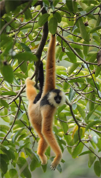 Eastern Black-crested Gibbon