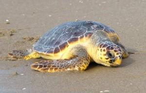 Loggerhead-Sea-turtle