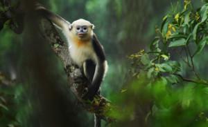 Tonking Snub-nosed Monkeyonkey