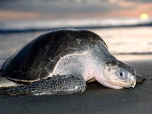 ridley-sea-turtle_688_600x450-300x225