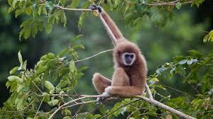 Lar Carpenteri Gibbon